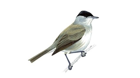 the rspb blackcap