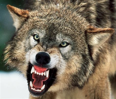 Angry Wolf are like angry wolves bart vermeiren