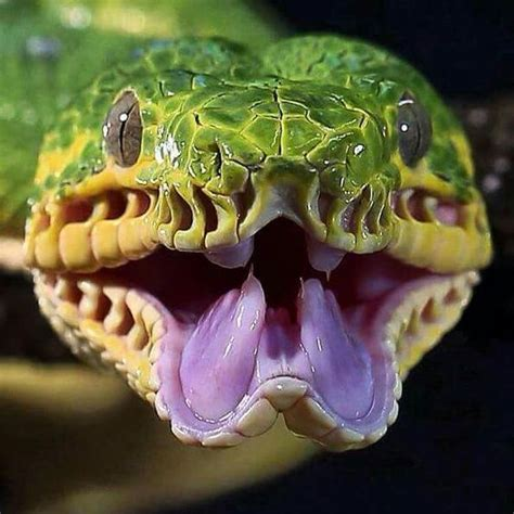 27 best reptiles and hibians images on pinterest emerald tree boa all the animals pinterest