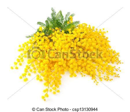 immagini fiori mimosa mimosa fiori ramoscello mimosa fiori bianco foto