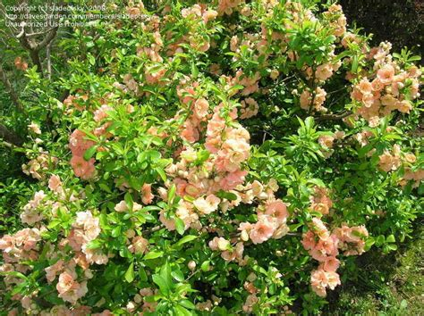 flowering quince shrub plantfiles pictures flowering quince cameo chaenomeles