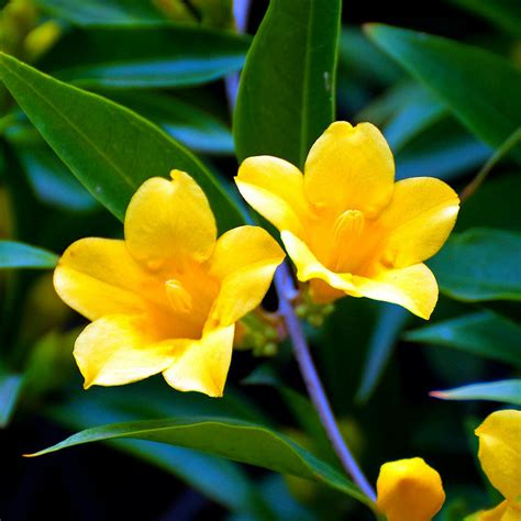 official state flowers yellow jessamine state symbols usa