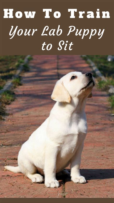how to teach a puppy to sit how to your labrador to sit