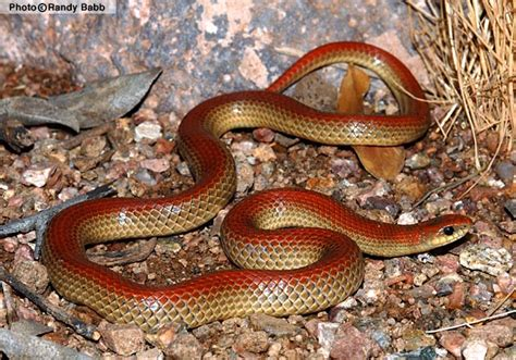 copper colored snake groundsnake sonora semiannulata reptiles of arizona