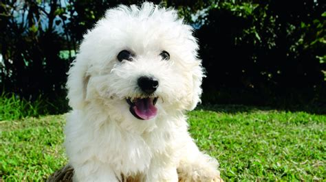 Does A Bichon Frise Shed by Best Small Dogs For Choosing The Pet For