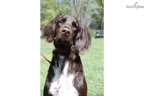 german shorthair puppies for sale in wisconsin german shorthaired pointer dogs for sale in wisconsin