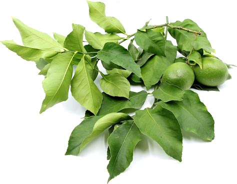 Magic Glossy Di Malaysia lemon leaves information recipes and facts