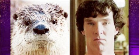 Benedict Cumberbatch Otter Meme - college candy behind the scenes tastefullyoffensive