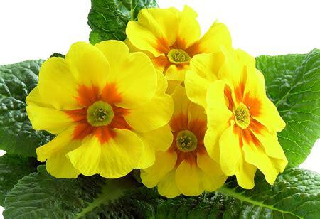 immagini fiori gialli fiori gialli bellissimi e diversi fai da te in giardino