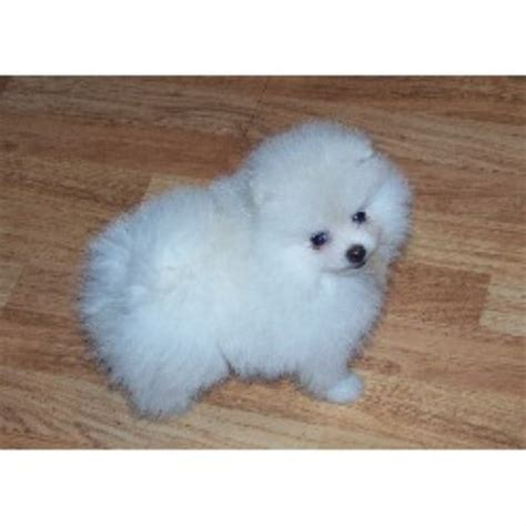 pomeranian rescue pittsburgh pomeranian breeders and kennels freedoglistings page 16