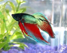 picture 1 of 8 siamese fighting fish betta splendens