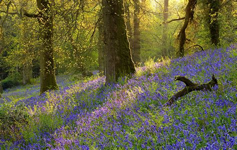 bluebells country life