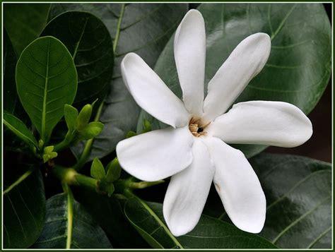 Gardenia Tiare 1000 Images About Gardenia On Bora Bora