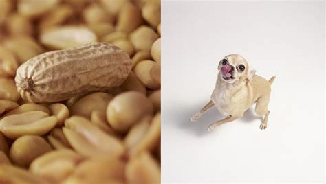 dogs eat peanuts can dogs eat peanuts dogtime