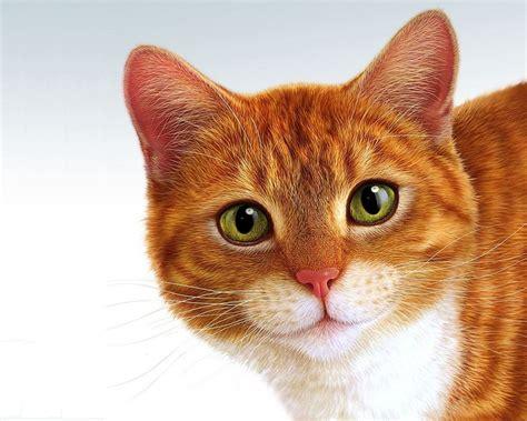 red cat wallpaper kota damansara морда кота портреты 24 фото