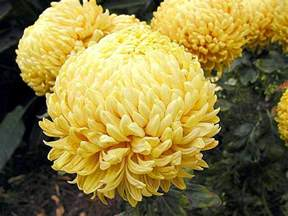 file mums several flowers yellow jpg wikimedia commons