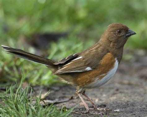 Backyard Shrubs Eastern Towhee Audubon Field Guide