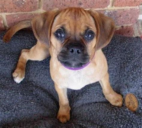 boxer pug mix puppies for sale boxer pug mix images frompo