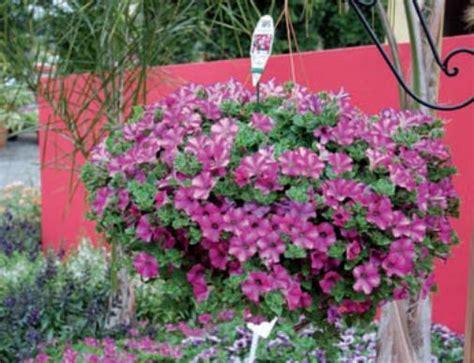 piante da terrazzo pieno sole giardinaggio piante da terrazzo in pieno sole