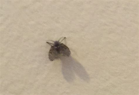 Small Flying Insects At Home Bathroom Flies Archives What S That Bug