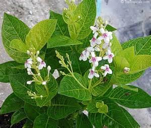 Cold Hardy Tropical Plants - pseuderanthemum carruthersii var reticulatum pseuderanthemum reticulatum yellow vein