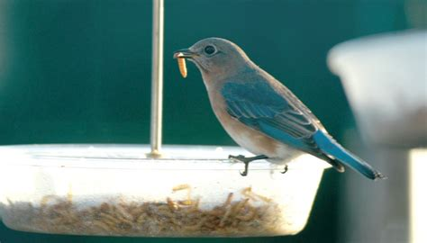 mealworms wild birds unlimited wild birds unlimited