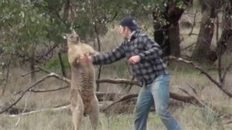 kangaroo has in headlock punches kangaroo to save from headlock the week uk