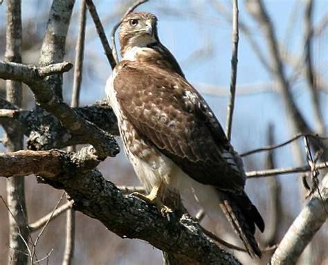 types of hawks in louisiana 74333270 cj5uxdg3 jpg
