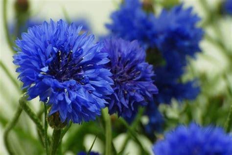 fiori azzurri nomi piante ornamentali da giardino piante da giardino