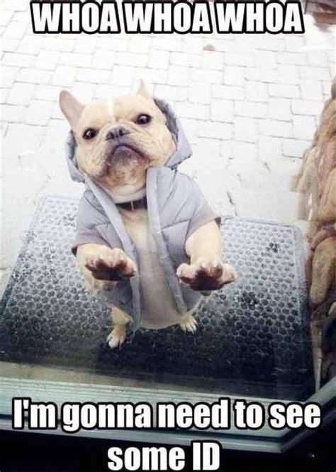 Bulldog Meme - 10 best french bulldog memes of all time