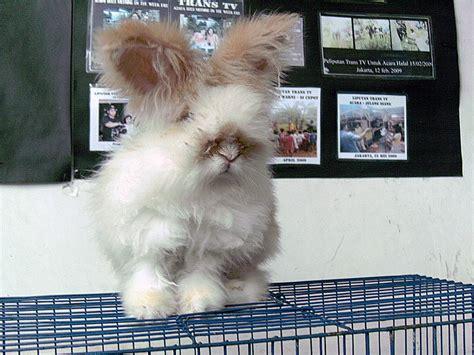 Harga Pelet Kelinci Anggora gambar kelinci angora kelinci perkelincian rabbit rabbitry