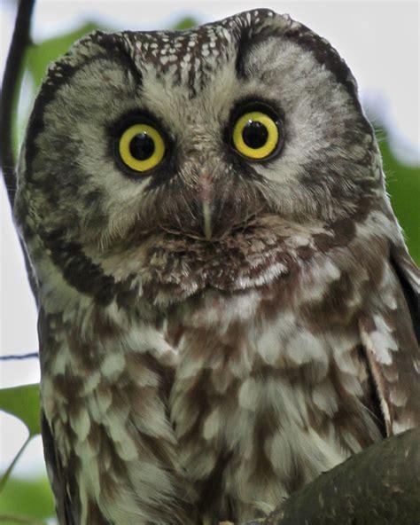 boreal owl  birdspix