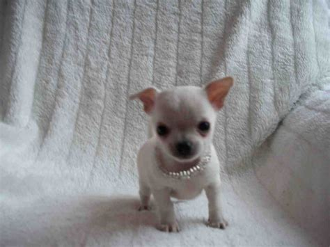 chipit puppies for sale grown chihuahua breeds picture
