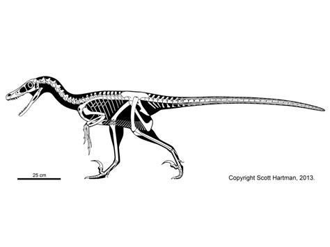 velociraptor diagram velociraptor and utahraptor how do the cousins compare