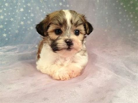 yorkie bichon puppies for sale in wisconsin 43 best images about dogs i on morkie puppies for sale yorkie and