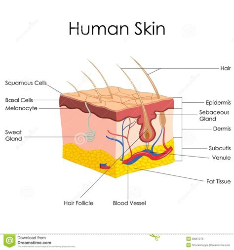 anatomy of human skin layer and arm stock vector 689023216 istock human skin anatomy stock vector illustration of layer 38067278