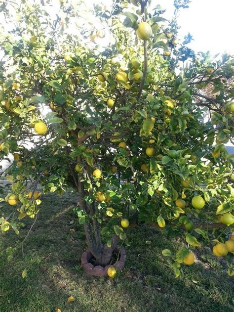 when do lemon trees produce fruit my lemon tree produced strange fruit