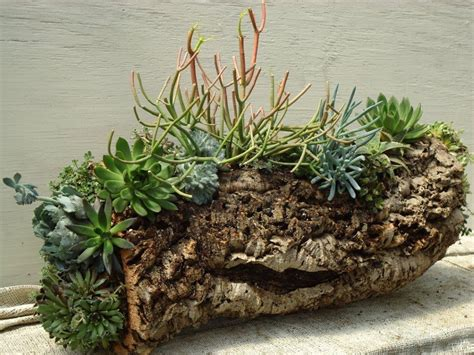 cactus planters cork bark planter with pencil cactus and succulents oak street garden shop and local market