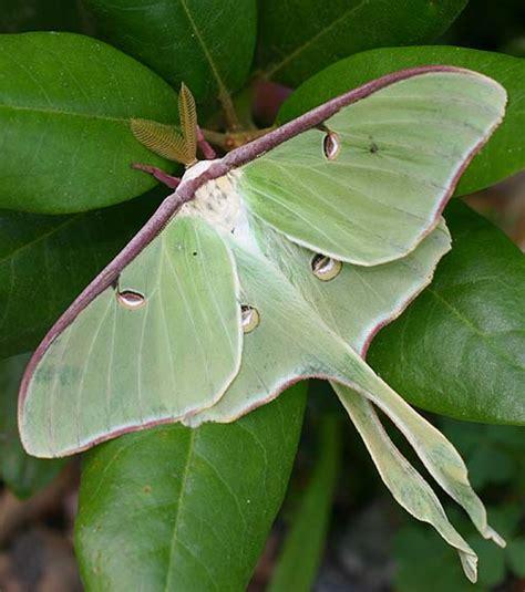 luna moth actias luna bugguide net