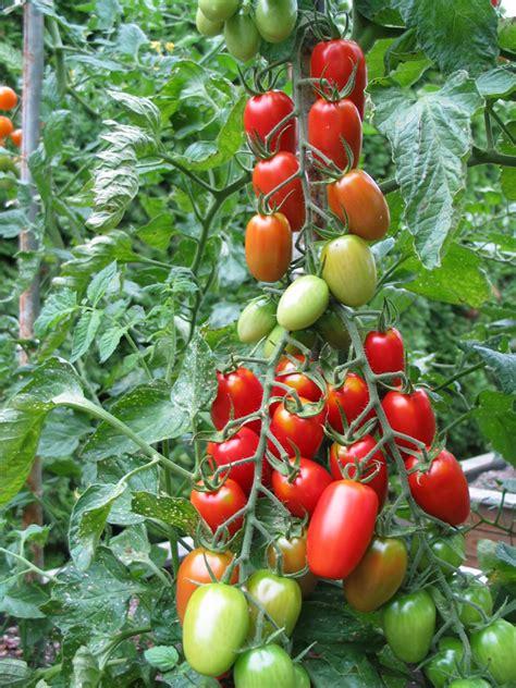 Tomat Cherry Juliet what s new april 19 2012