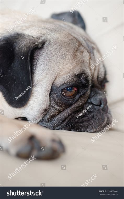pug couch close up of pug on couch stock photo 139403444 shutterstock