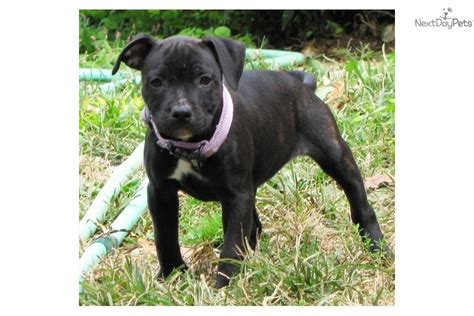 bull terrier puppies for sale in va staffordshire bull terrier puppies available now for sale breeds picture