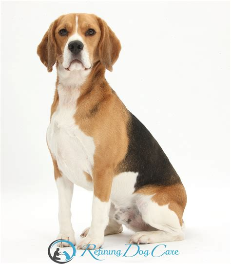 dogs and personalities photo collection beagle dogs temperament