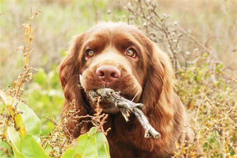 sussex spaniel puppies breed profile sussex spaniel gun magazine