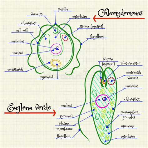 chlamydomonas cycle diagram the structure of chlamydomonas and euglena stock vector