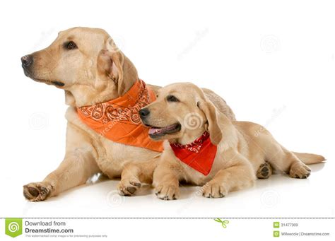 and puppy and puppy royalty free stock images image 31477309