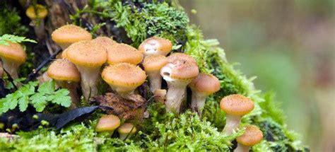 cucinare funghi chiodini ricette ricette funghi chiodini come cucinare ricette