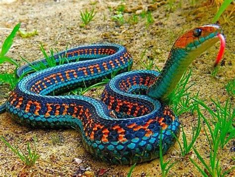 Colorado Small House by California Red Sided Garter Snake Pixdaus