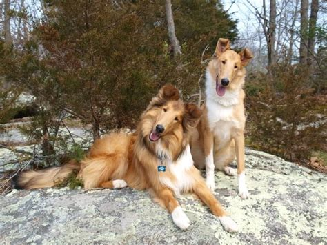 smooth collie puppies 1000 ideas about collie on collie puppies shetland sheepdog and pets