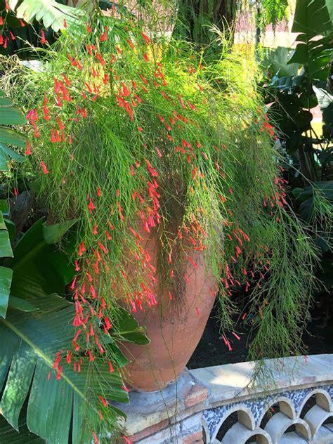 Jual Tanaman Resselia Equisetiformis Bunga Air Mancur jual tanaman bunga air mancur murah bunga air mancur